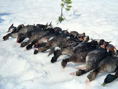 Форум. охота на гуся зима 2012 года.  Отчеты об охоте, трофеи.